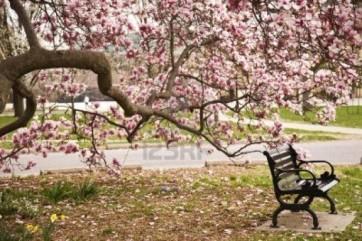 prachtige-bloesem-op-de-magnolia-boom-1367224591-van-sonneke12