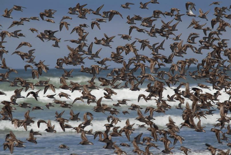 vogels-zwerm-zee-pixabay-3936392
